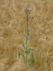 Thistle in Wheat